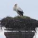 Schon heute und damit sogar noch etwas früher als im vergangenen Jahr hat ein Storch seinen Horst in der Gustavstraße bezogen.