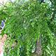 90 Bäume gepflanzt, 35 mussten gefällt werden: Die Kleeblattstadt wurde auch 2010 ein gutes Stück grüner.