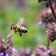 Weil Freistaat und EU abgesprungen sind, verdoppelt die Stadt ihren Zuschuss an die Imkervereine, um die Bekämpfung des Bienensterbens zu unterstützen.